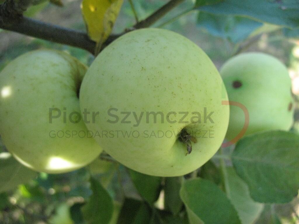 Malus domestica 'Oliwka żółta'