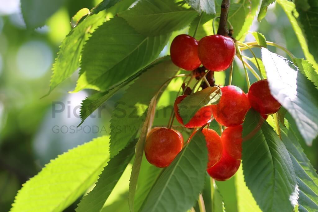 Prunus avium 'Büttnera Czerwona'