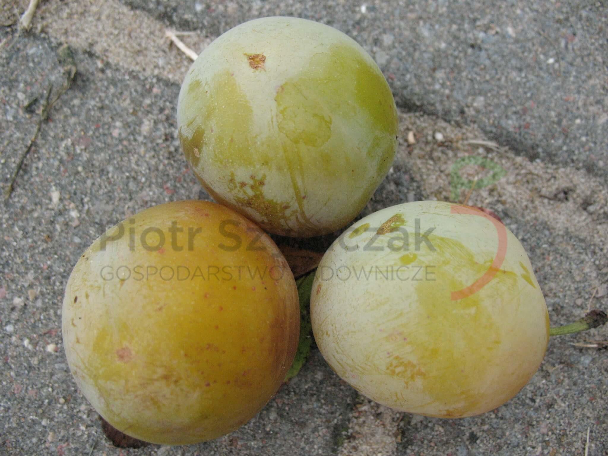 Prunus domestica 'Renkloda Ulena'